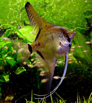 Angelfish Page